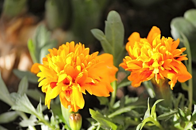 marigold for color